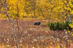 Бурый медведь в луге осени стоковая фотография rf