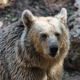 Бурый медведь дикого животного Стоковая Фотография
