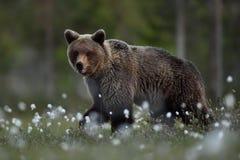 Бурый медведь идя на ночу i стоковые фотографии rf