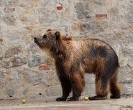 Бурый медведь или вид Ursa Стоковое Изображение