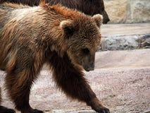 Бурый медведь или вид Ursa Стоковая Фотография