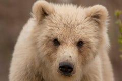 Бурый медведь Камчатка, beringianus arctos ursus стоковые изображения rf