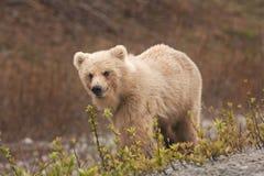 Бурый медведь Камчатка, beringianus arctos ursus стоковая фотография rf