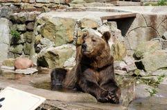 Бурый медведь лежа среди камней стоковое фото rf