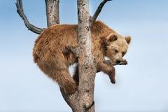 Бурый медведь на дереве Стоковые Изображения RF