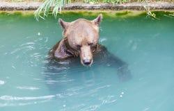 Бурый медведь на парке медведя Bern, Швейцарии Стоковые Фотографии RF
