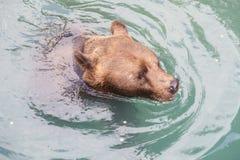 Бурый медведь на парке медведя Bern, Швейцарии Стоковые Изображения RF