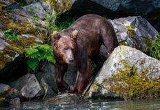 Бурый медведь около получить в воду стоковая фотография rf
