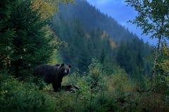 Бурый медведь подавая перед зимой Гора Mala Fatra Словакии, зеленое животное опасностей леса, желтая осень, деревянная среда обит стоковые фото