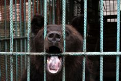 Бурый медведь стоковое фото rf