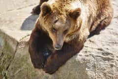 Бурый медведь сидя на утесе Окружающая среда живой природы Животное Стоковое Изображение