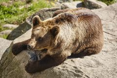 Бурый медведь сидя на утесе Окружающая среда живой природы Животное стоковая фотография