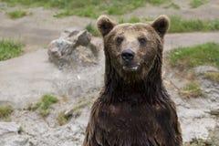 Бурый медведь стоит на своих задних ногах и смотрит вокруг Стоковая Фотография