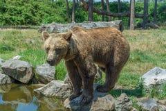 Бурый медведь стоя на камне около воды стоковые изображения