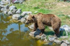 Бурый медведь стоя на скалистом береге стоковое изображение rf