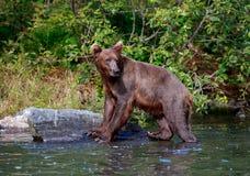 Бурый медведь стоя на утесе стоковая фотография