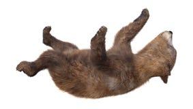 бурый медведь Cub перевода 3D на белизне Стоковая Фотография RF