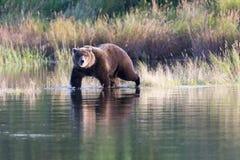 Бурый медведь Аляски на реке ручейков Стоковые Изображения