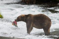 Бурый медведь Аляски с семгами Стоковое Изображение RF