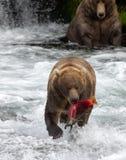 Бурый медведь Аляски с семгами Стоковая Фотография
