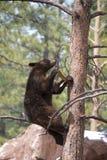 Бурый медведь взбираясь дерево стоковое изображение rf