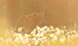Бурый медведь внутри против свет Стоковое Изображение