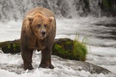 Бурый медведь вытаращить около утеса на водопаде стоковые фотографии rf