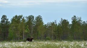 Бурый медведь в ландшафте Стоковая Фотография RF