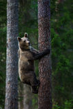 Бурый медведь в лесе Финляндии Стоковые Изображения RF