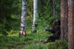 Бурый медведь в лесе Финляндии Стоковое Изображение RF