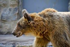 Бурый медведь в зоопарке Лиссабона Стоковые Фотографии RF