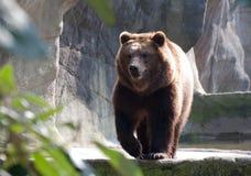 Бурый медведь в зоопарке Стоковые Изображения RF