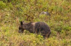 Бурый медведь в окружающей среде в западном Tatras Стоковая Фотография RF