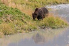Бурый медведь вдоль реки Стоковая Фотография