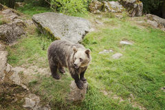 Бурый медведь в парке Стоковые Фотографии RF
