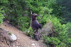 Бурый медведь в древесинах Стоковое Изображение