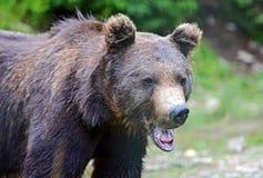 Бурый медведь в древесинах Стоковые Изображения RF