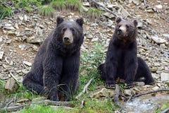 Бурый медведь в древесинах Стоковые Фотографии RF