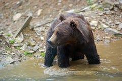 Бурый медведь в древесинах Стоковые Изображения