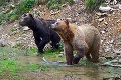 Бурый медведь в древесинах Стоковое Фото
