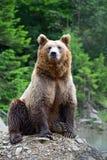 Бурый медведь в древесинах Стоковое фото RF