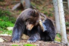 Бурый медведь в древесинах Стоковая Фотография