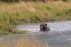 Бурый медведь в реке Стоковые Фото