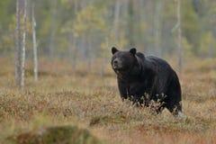Бурый медведь в среду обитания природы земли Финляндии Стоковая Фотография