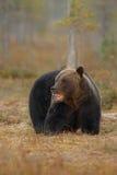 Бурый медведь в среду обитания природы земли Финляндии Стоковые Фотографии RF