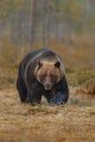 Бурый медведь в среду обитания природы земли Финляндии Стоковые Фото
