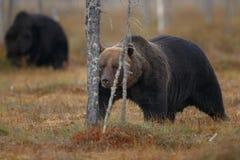 Бурый медведь в среду обитания природы земли Финляндии Стоковое Фото