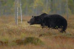 Бурый медведь в среду обитания природы земли Финляндии Стоковые Изображения RF