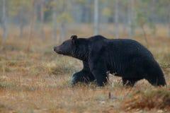 Бурый медведь в среду обитания природы земли Финляндии Стоковое фото RF