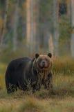 Бурый медведь в среду обитания природы земли Финляндии Стоковое Изображение